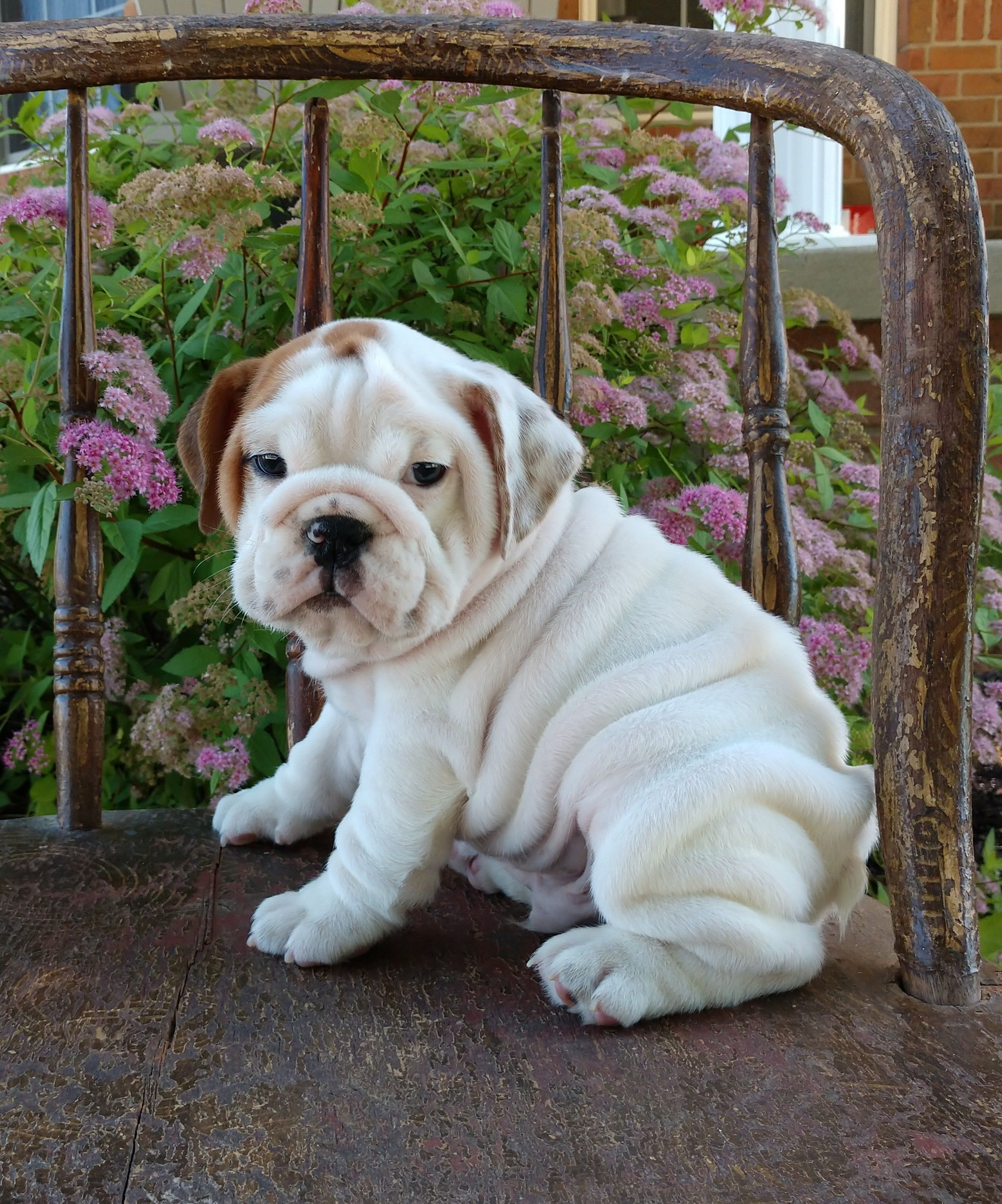 pin by mikayla on i love dogs | english bulldog puppies
