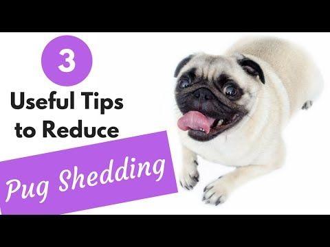 3 Useful Tips To Reduce Pug Shedding Do Pugs Shed Pugs Dog