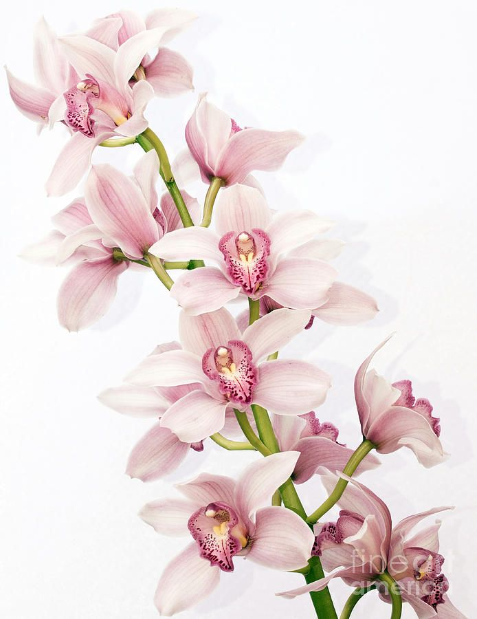 Pink Cymbidium Orchids By Shannon Smith Orchid Drawing Orchid Photography Orchids