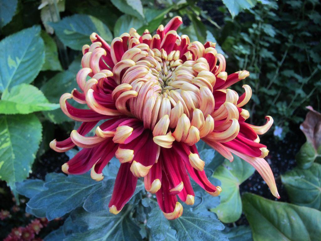 Japanese Chrysanthemum Google Search Chrysanthemum Flower Japanese Chrysanthemum Japanese Flowers