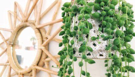 15x Eucalyptus Huis : Erwtenplant inspiratie verzorgingstips kamerplanten