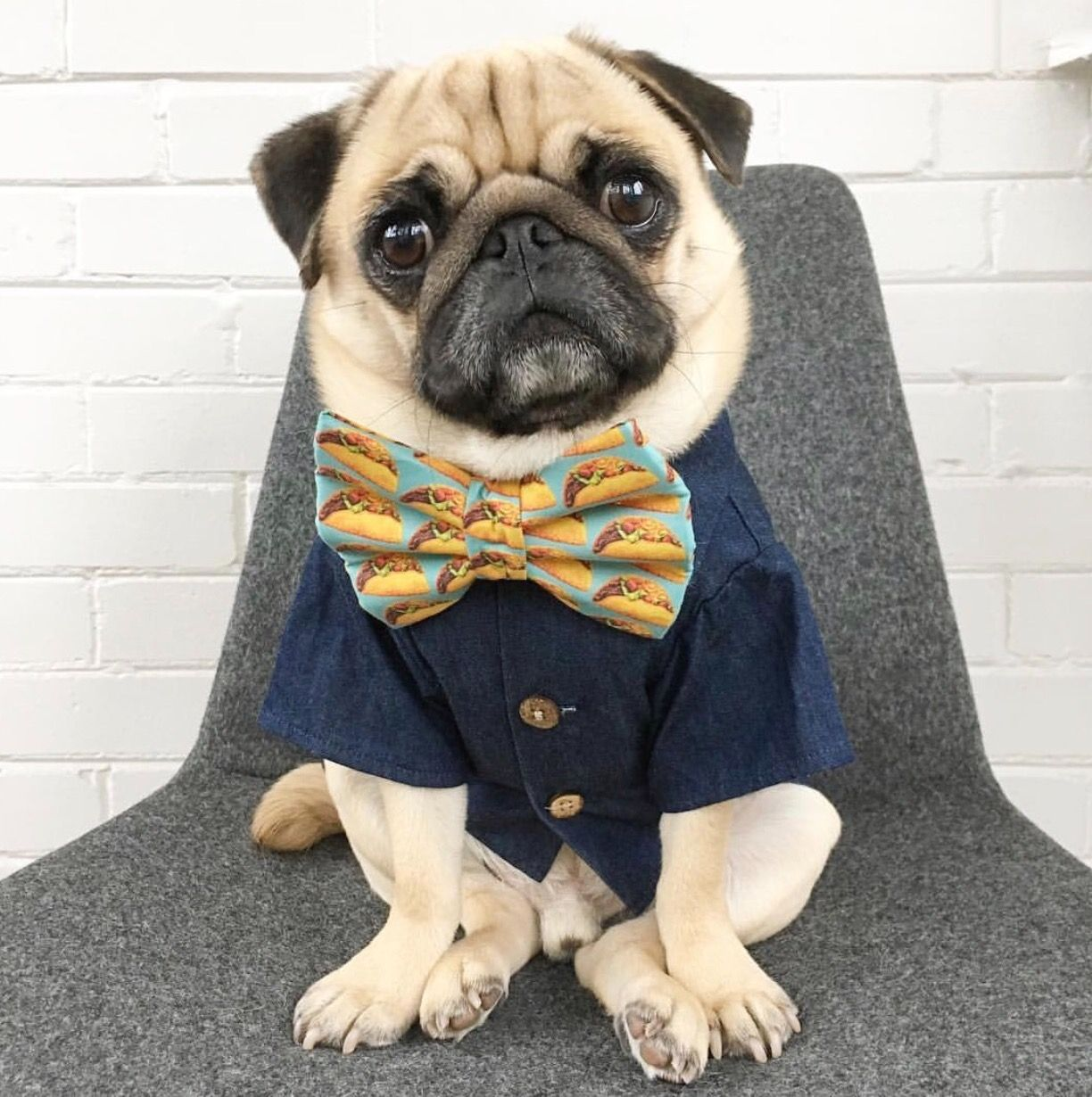 Pugs in clothes. Cute dog clothing by Dog Threads ...