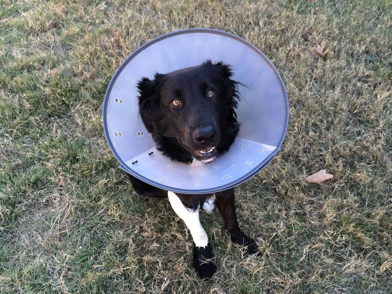 After Spay Surgery Dogs Will Need To Rest Recover And Have Their Wounds Looked After Learn More On How To Care For Do In 2020 Cat Illnesses Dog Insurance Sick Pets