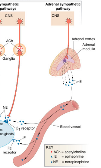 adrenal cortex holistic