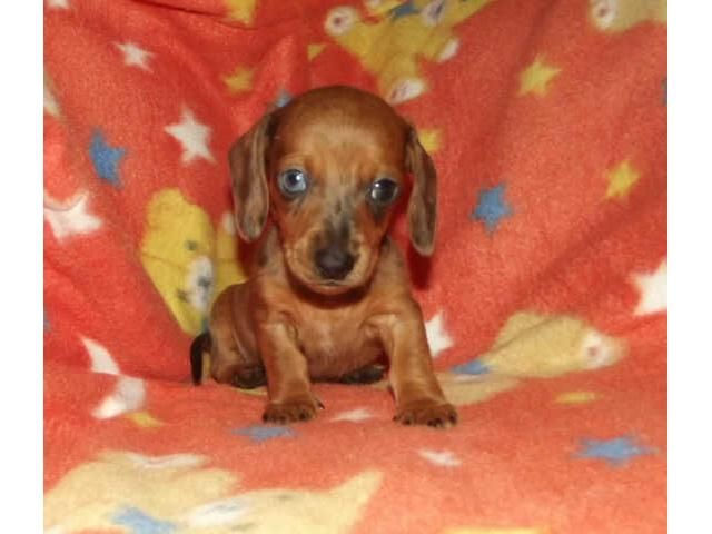 Miniature Smooth Haired Dachshund Puppies For Sale Puppies For