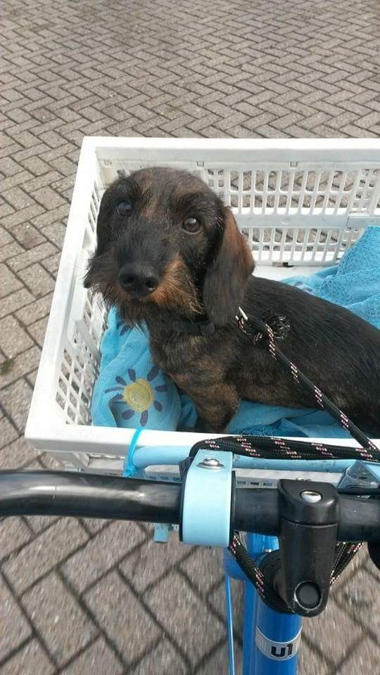 Pin By Lois Haydon On Dogs Wire Haired Dachshund Dachshund