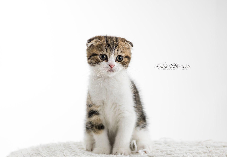 A0049698WRL.jpg Scottish fold kittens, Scottish fold