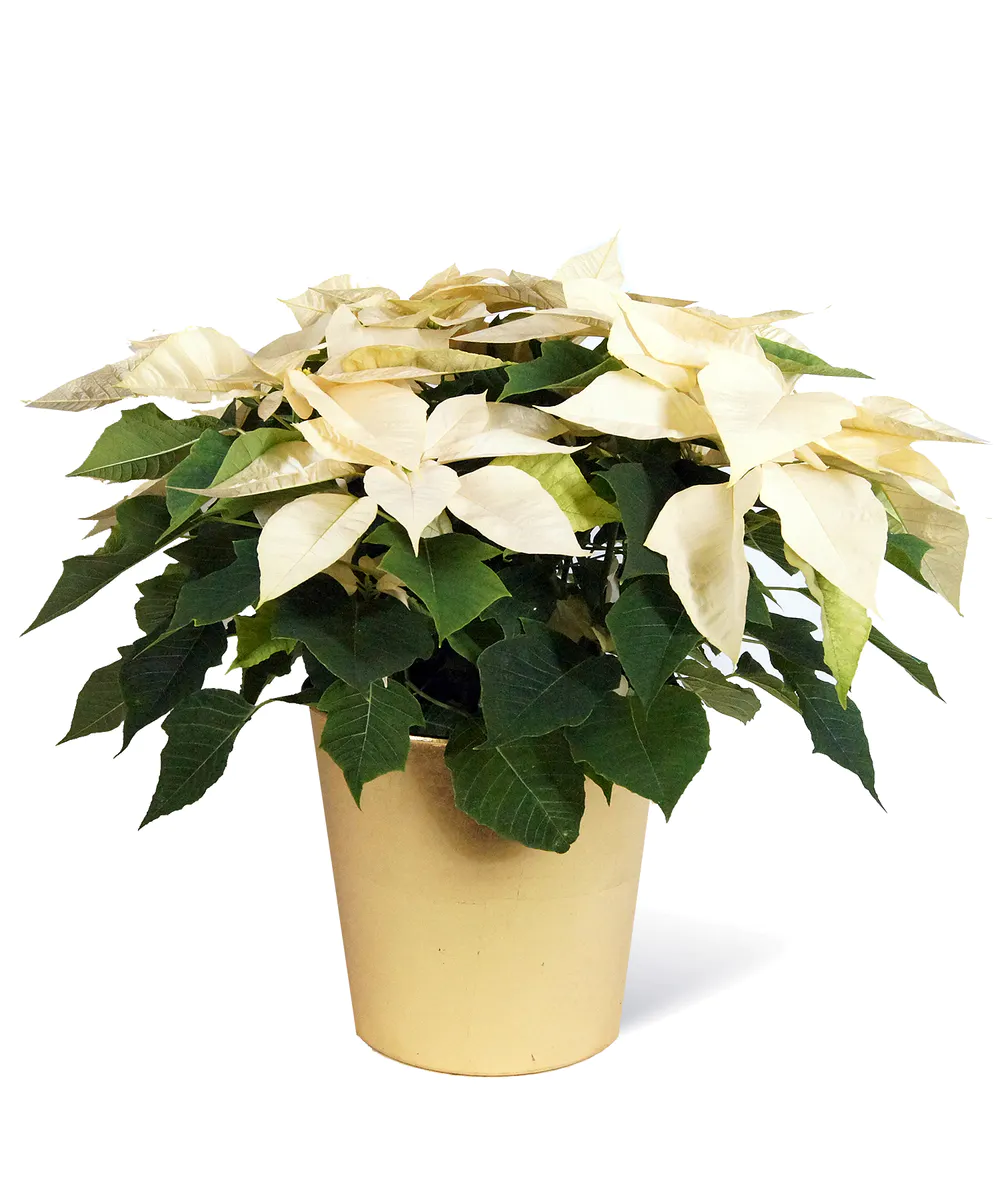 White Poinsettia Poinsettia Festive Flowers Christmas Flowers