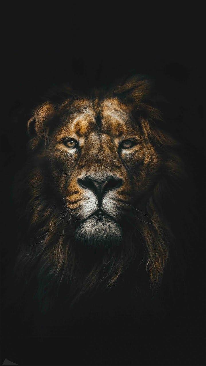 Wallpaper Et Fond D Ecran Lion Portrait Animal Animaux Felin Fond D Ecran Lion L Art De Lion Fond Ecran Animaux