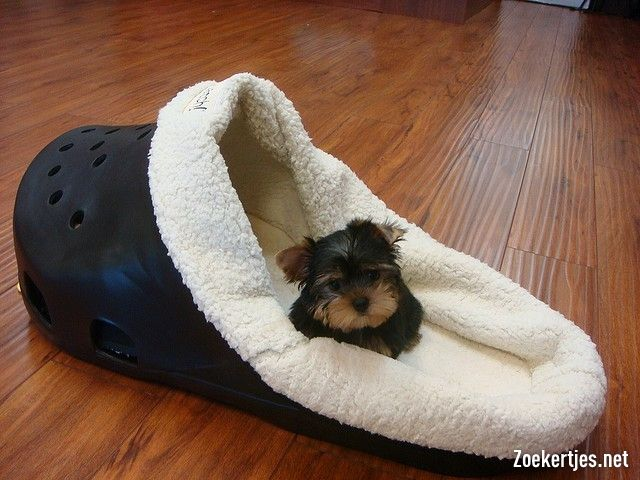 teacup yorkshire terrier. cute.
