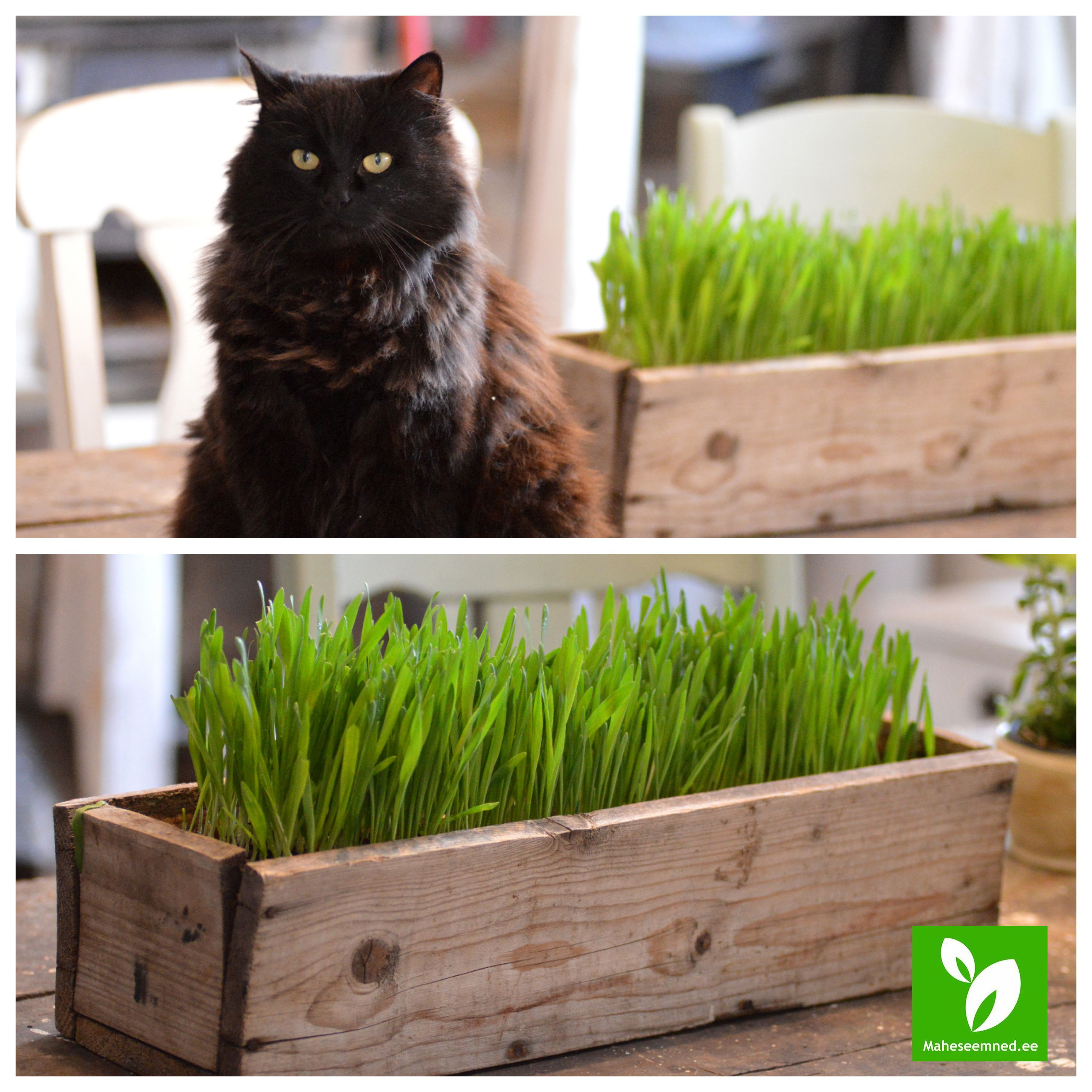 Organic barley grass for cats. Also a good table