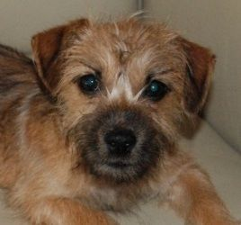 Adopt Mason On Yorkie Dogs Dog Love Terrier Dogs