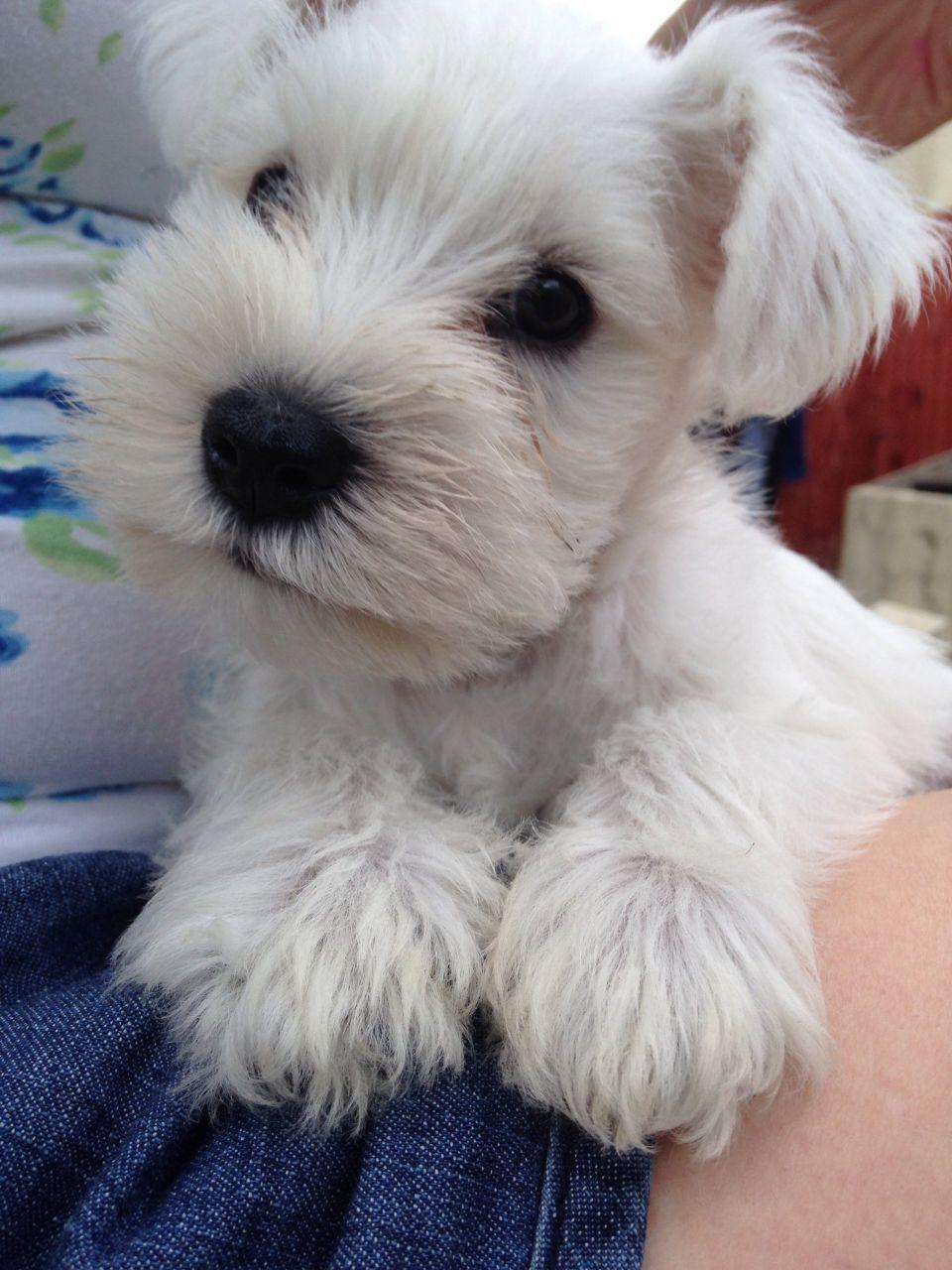 White Miniature Schnauzer Puppies For Sale Pontypridd Rhondda Cynon Taff Pets4homes In 2020 White Miniature Schnauzer Schnauzer Puppy Miniature Schnauzer Puppies