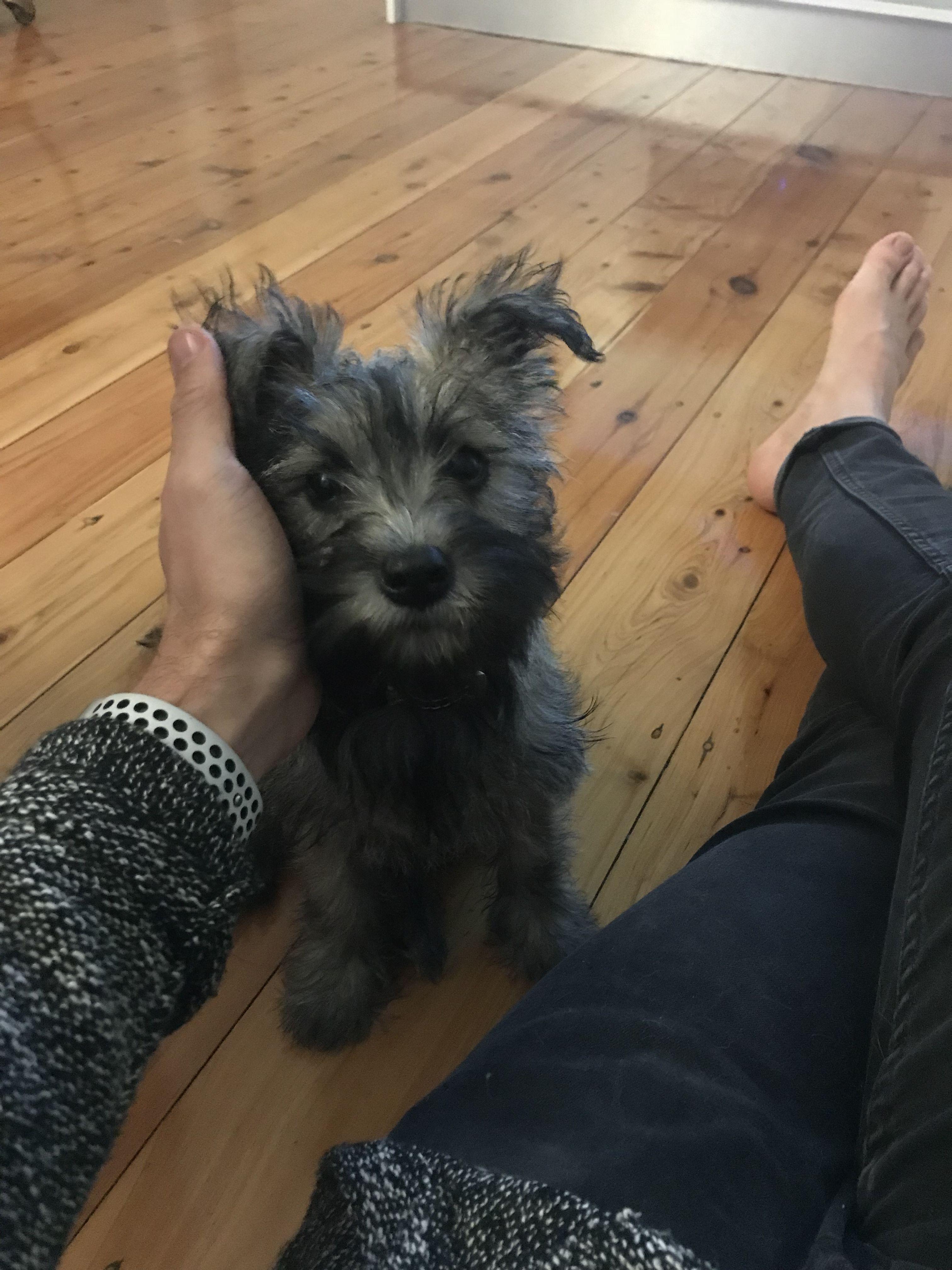 Mini Schnauzer X Cairn Terrier Puppy Cairn Terrier Puppies