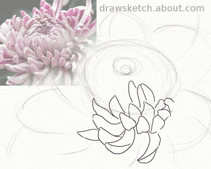 Anyone Can Draw A Beautiful Chrysanthemum Flower Drawing Flower Drawing Tutorials Chrysanthemum Drawing