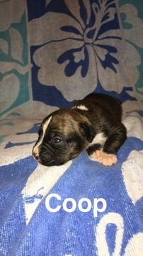 Litter Of 6 Boxer Puppies For Sale In Westminster Sc Adn 32638 On
