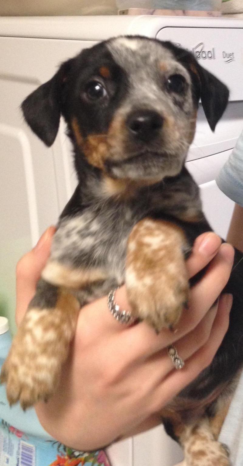 Beagle dachshund mix dachshund mix dachshund dogs