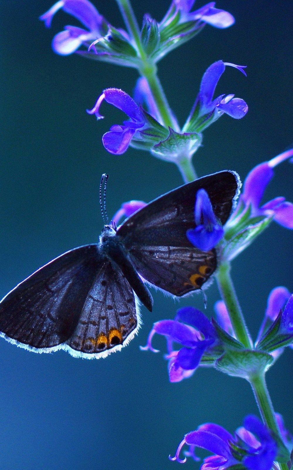 Butterfly Mobile Wallpaper | Butterfly wallpaper ...