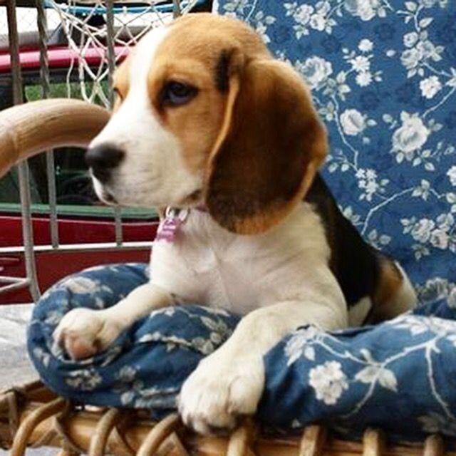 Peggy Beagle Beagle Dogs Beagle Puppy Beagle Dog