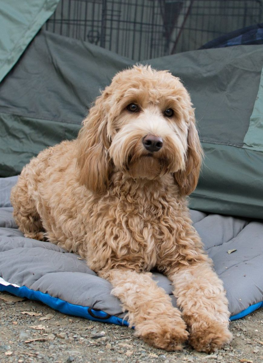 how to groom a goldendoodle with mats