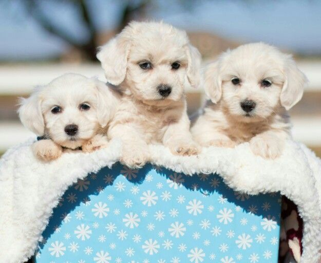 Maltichon Puppies For Sale Puppies Cute Dogs