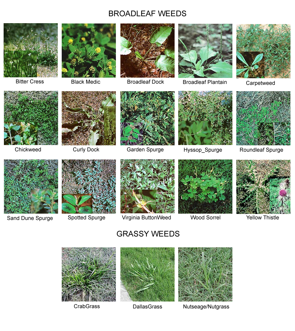 Types of lawn grass weeds - Weed Identification Landscaping And Lawn Care Services In The Decatur Northern Alabama Region
