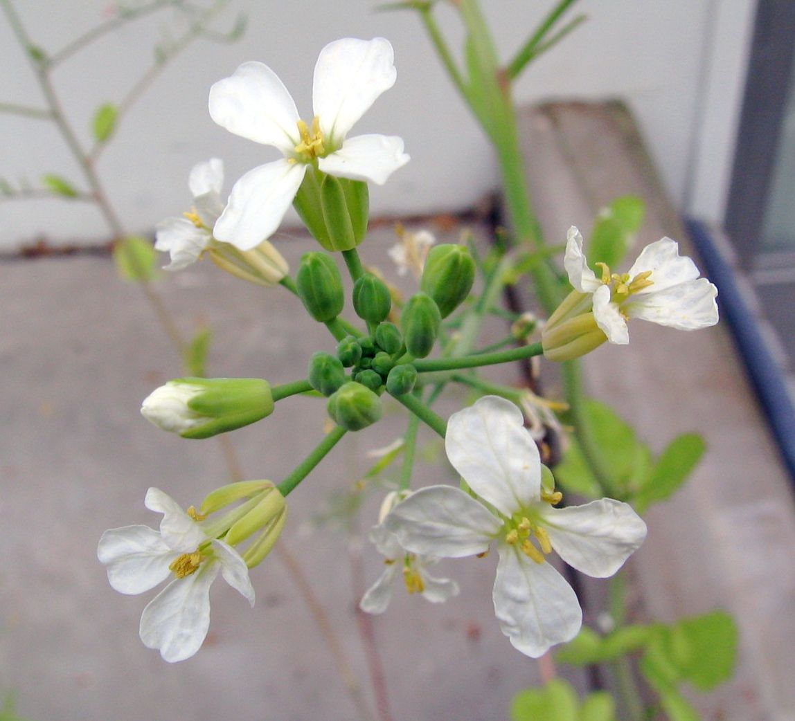 Grand Plants When To Harvest Breakfast Radishes When To Harvest Radishes Garden Harvesting Radish Seeds Saving Seeds From Radishes Pinterest Gardens houzz 01 When To Harvest Radishes