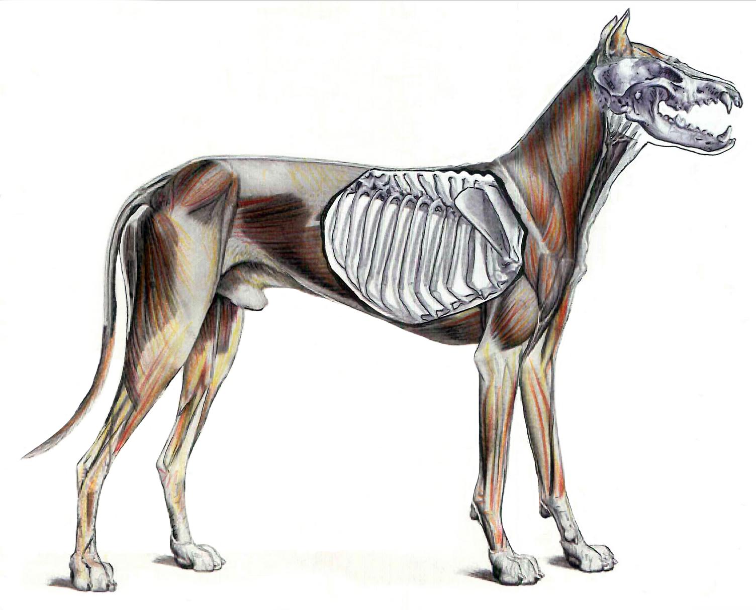 Anatomía del perro. Juan Azpeitia 1   Cuaderno 1º Analítico   Pinterest