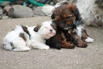Shitzhu X Sydney Silky Dogs Furry Friend