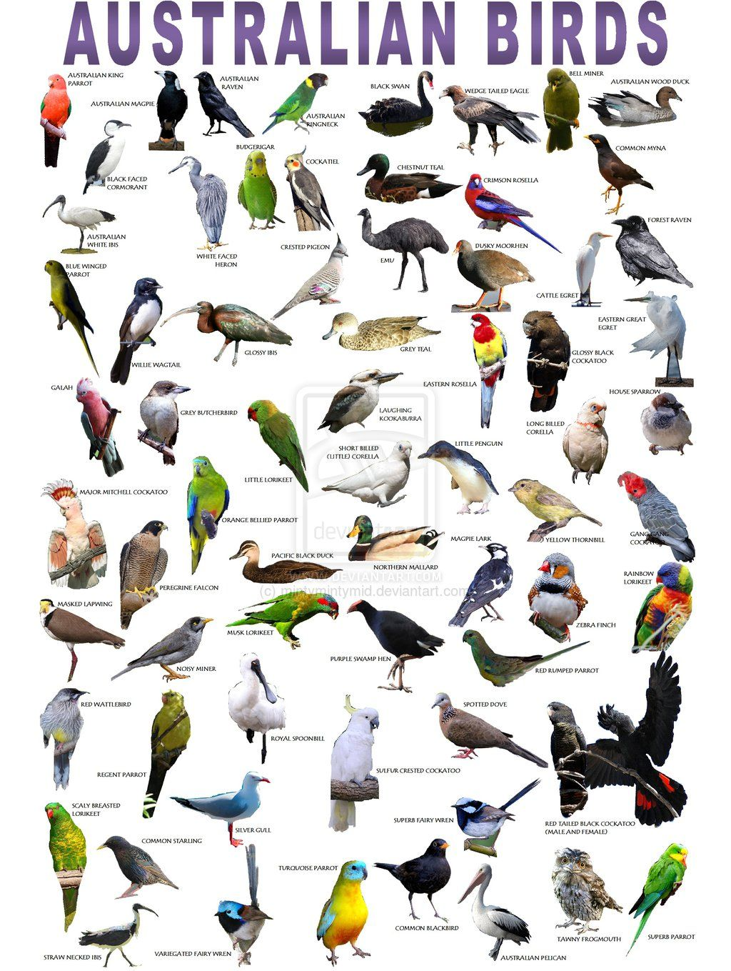 Australian Birds Poster Australian Birds Australian Native Birds Australian Native Animals