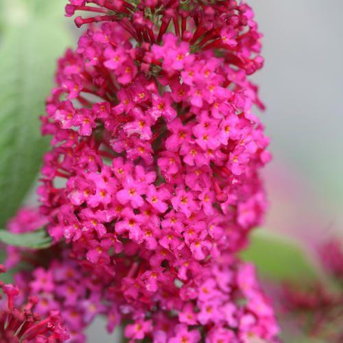 Miss molly butterfly bush buddleia x butterfly bush summer miss molly butterfly bush buddleia x mightylinksfo