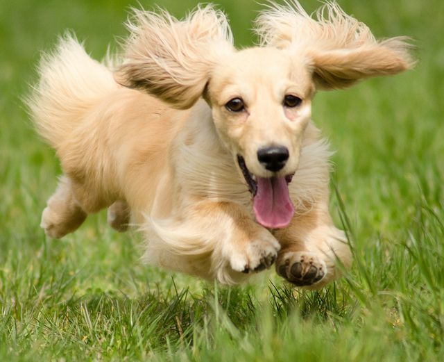 No I Am The Hover Dog Dachshund Breed Long Haired Dachshund Clever Dog