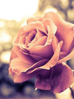 Download nice rose mobile wallpaper is compatible for - Samsung rose wallpaper ...