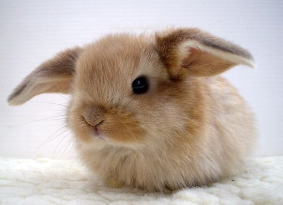 This is a baby helicopter eared bunny so cute!
