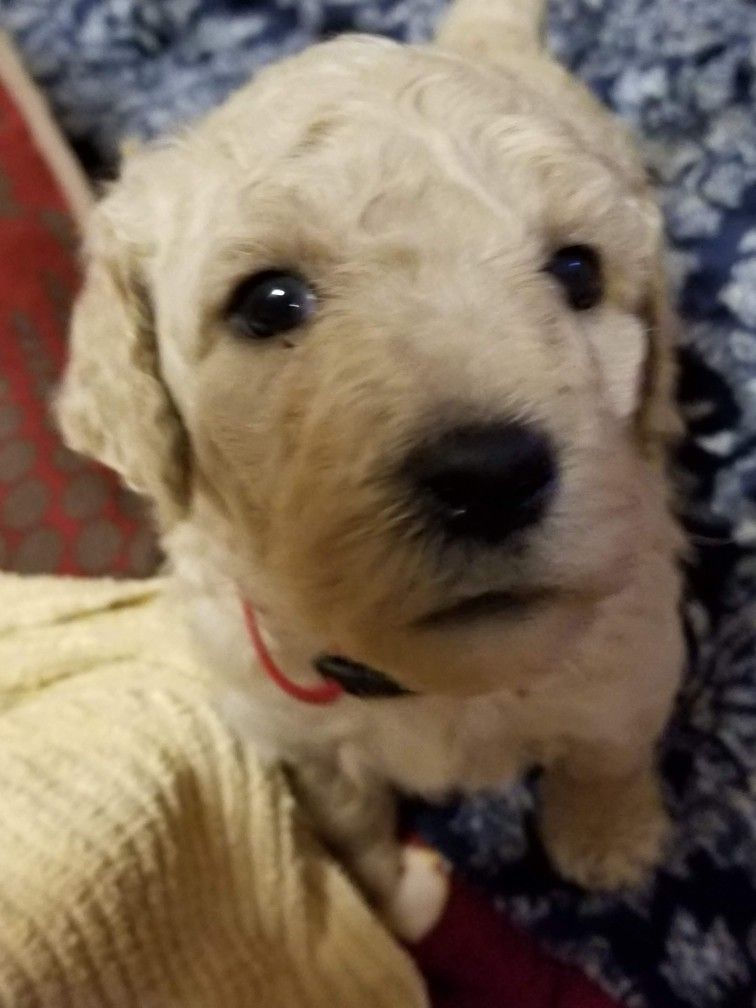 Carter The Runt In Zoey S Litter Standard Poodle Poodle Animals