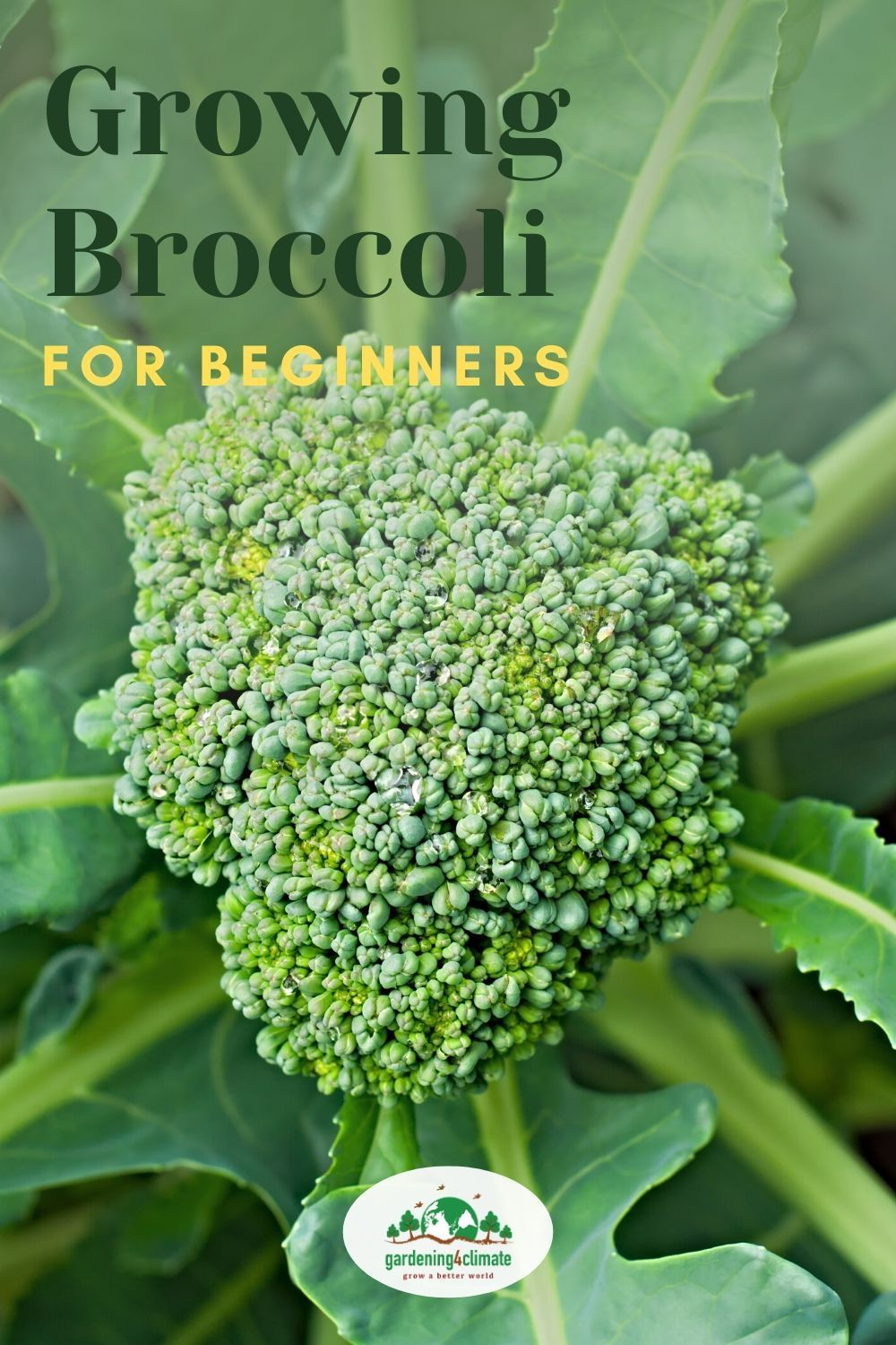 Growing Broccoli - How To Grow Broccoli Plants In The ...