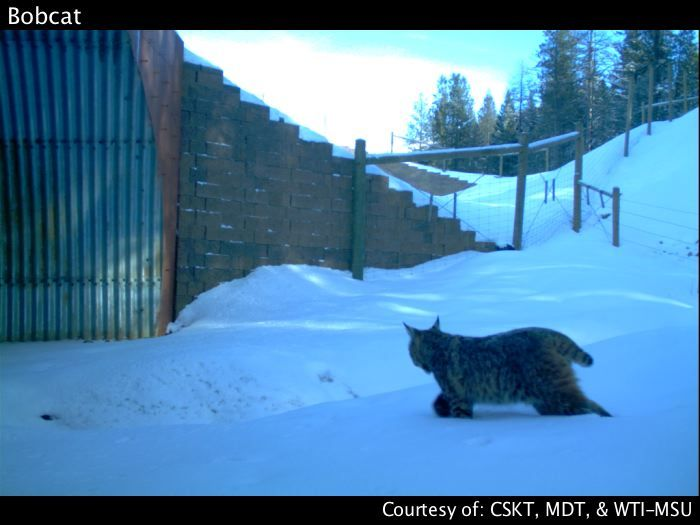 Bobcat Animal Crossing Wildlife Nature
