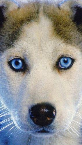 Husky Puppy Blue Eyed Baby 52672 640x1136 Blue Eyed Dog Cute Husky Puppies Puppies