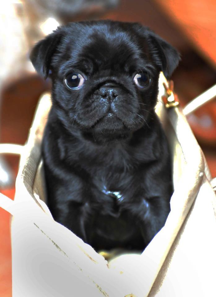 Pug Love As My Sister Would Say Cute Pugs Black Pug Puppies Pugs