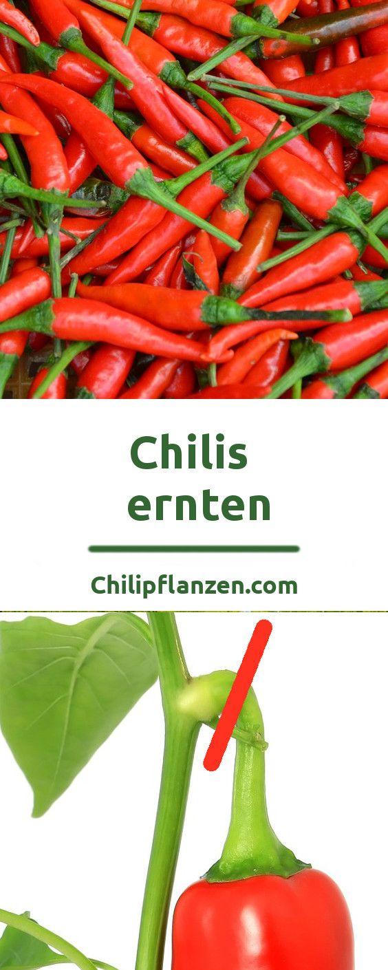 chilis richtig ernten und verarbeiten some like it hot pinterest chili pflanzen pflanzen. Black Bedroom Furniture Sets. Home Design Ideas