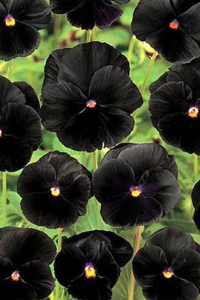 You Ll Want To Plant These Galaxy Flowers In Your Garden Asap Pansies Flowers Flower Seeds Beautiful Flowers