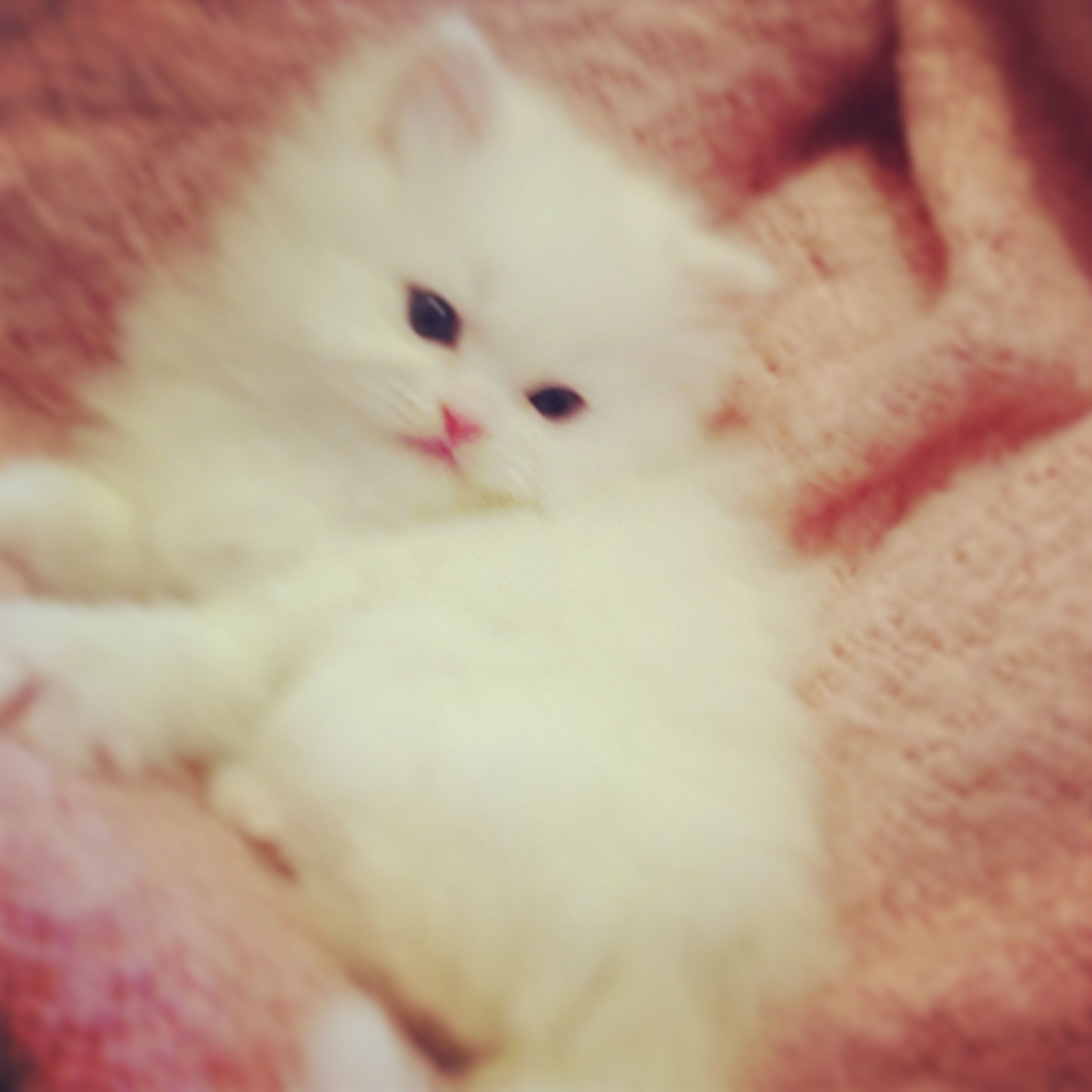 White Doll Face Kittens Coming Soon Kitten Pictures Fluffy Kittens Persian Cat Doll Face