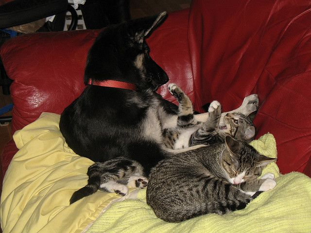 """Zelda """"playing"""" with Sid while Nancy snoozes"""