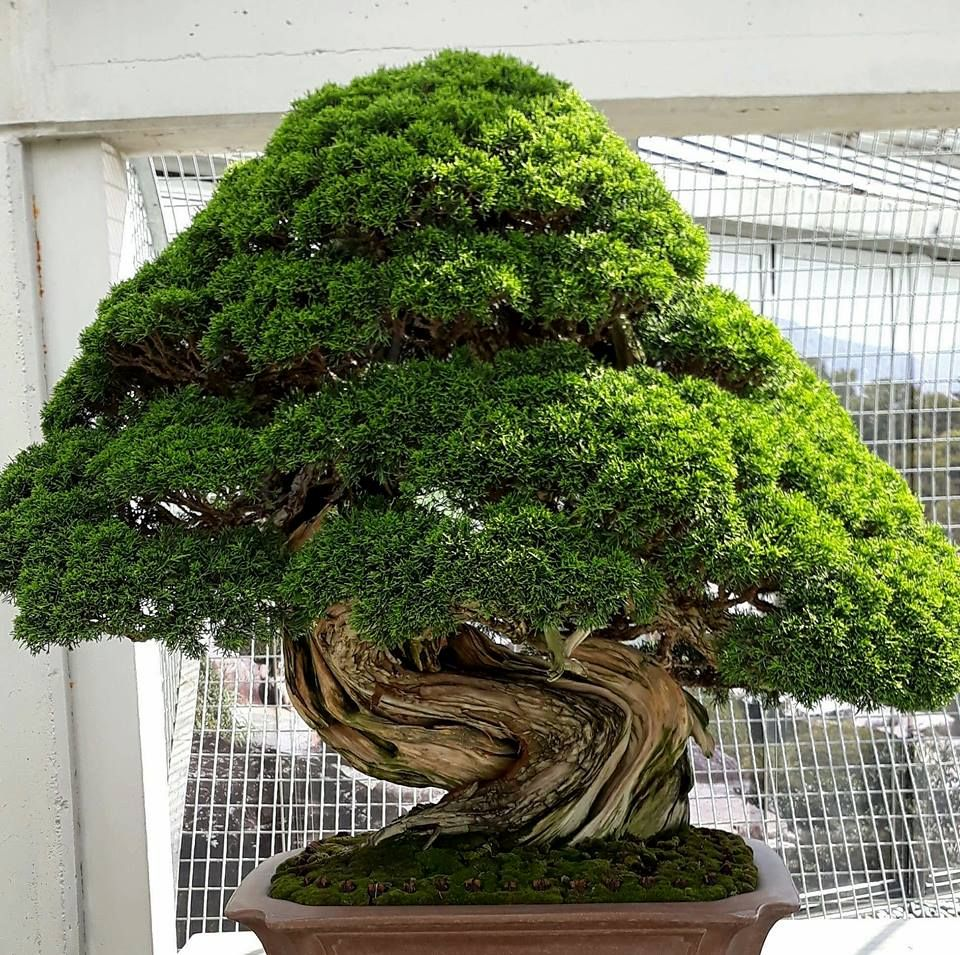 The Secret King Of Bonsai Trees Centuries Old And Still In Good Shape Bonsai Tree Bonsai Tree Types Bonsai Plants