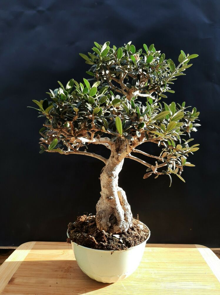Olive tree Bonsai Special plant 30 year old plant