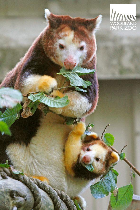 Matschie S Tree Kangaroos Cute Wild Animals Cute Animals Animals Beautiful