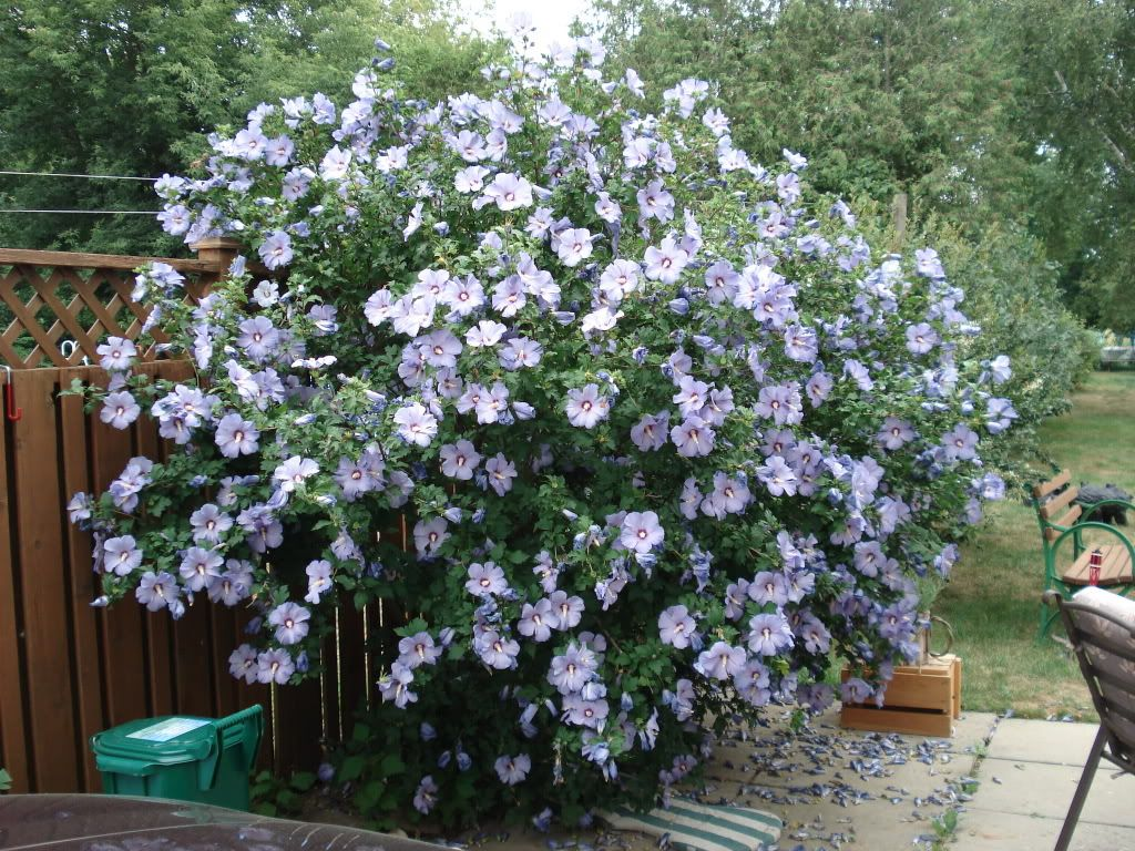 Back yard along fence Rose of Sharon Have to be honest though