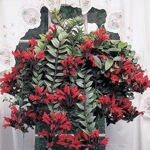 Lipstick Plant Aeschynanthus Radicans One Of Best Houseplants