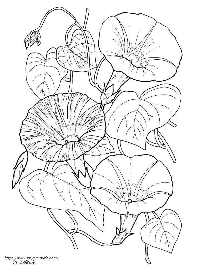 3種の朝顔の植物画の塗り絵の下絵、画像 | Шаблоны | 塗り絵, ぬり絵