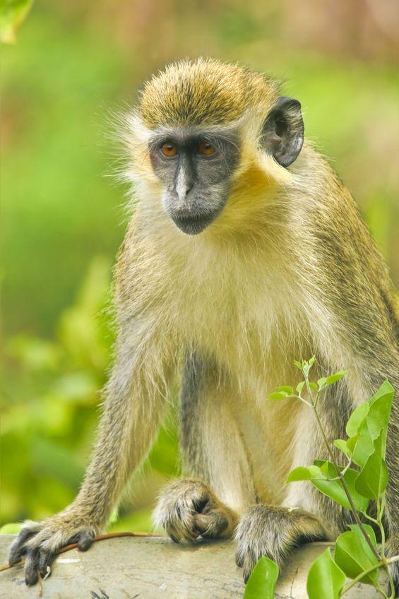 Monkey Banana guide 2012 edition REVISED